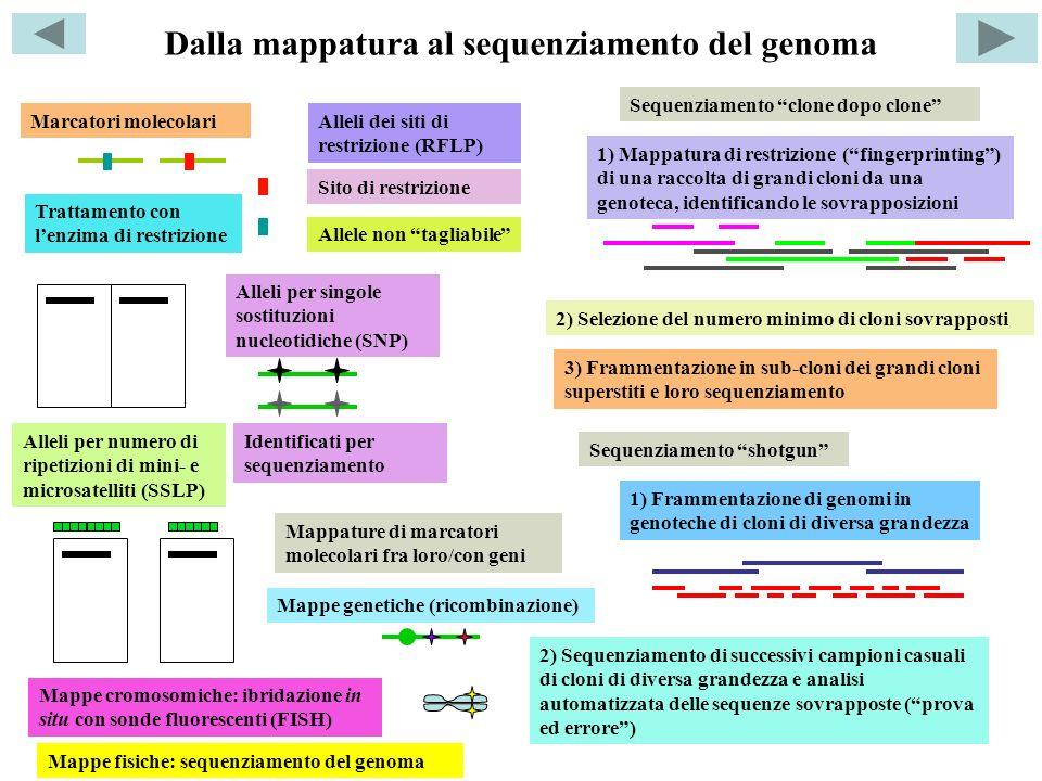 Sequenziamento clone dopo clone Sequenziamento shotgun 1) Mappatura di restrizione (fingerprinting) di una raccolta di grandi cloni da una genoteca, i