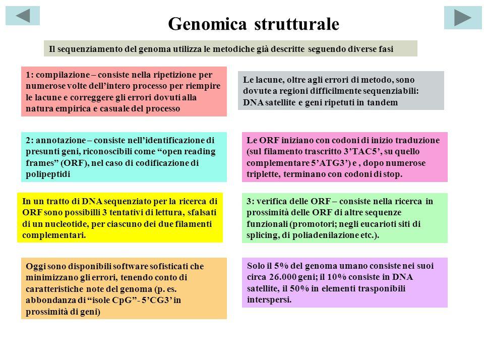 Genomica strutturale Il sequenziamento del genoma utilizza le metodiche già descritte seguendo diverse fasi 1: compilazione – consiste nella ripetizione per numerose volte dellintero processo per riempire le lacune e correggere gli errori dovuti alla natura empirica e casuale del processo 2: annotazione – consiste nellidentificazione di presunti geni, riconoscibili come open reading frames (ORF), nel caso di codificazione di polipeptidi Le lacune, oltre agli errori di metodo, sono dovute a regioni difficilmente sequenziabili: DNA satellite e geni ripetuti in tandem Le ORF iniziano con codoni di inizio traduzione (sul filamento trascritto 3TAC5, su quello complementare 5ATG3) e, dopo numerose triplette, terminano con codoni di stop.