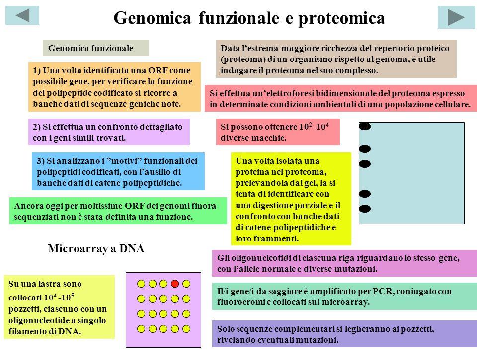 Genomica funzionale e proteomica Genomica funzionale 1) Una volta identificata una ORF come possibile gene, per verificare la funzione del polipeptide codificato si ricorre a banche dati di sequenze geniche note.