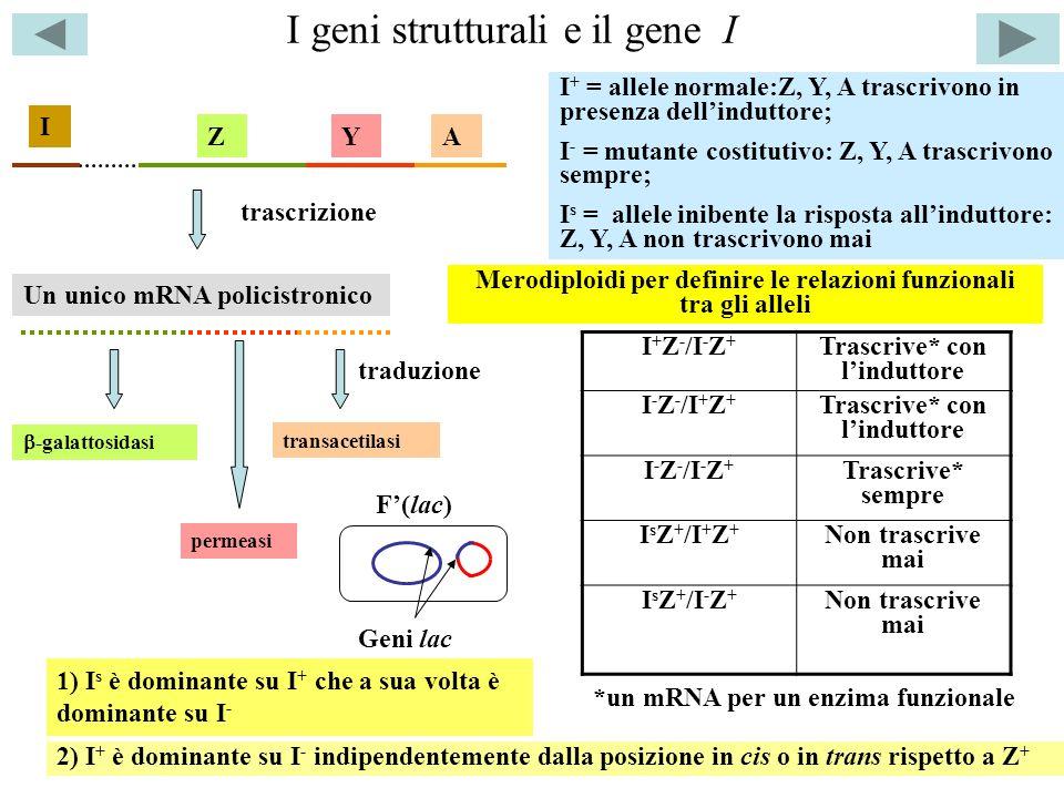 I geni strutturali e il gene I transacetilasi -galattosidasi permeasi ZYA Un unico mRNA policistronico trascrizione traduzione F(lac) I I + = allele n
