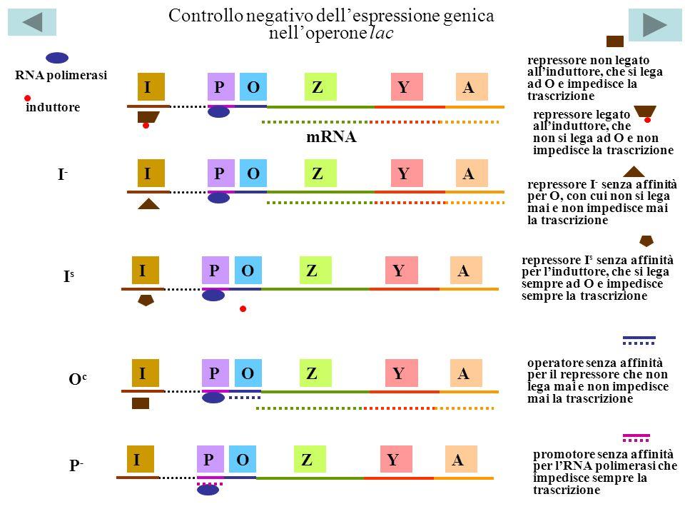Controllo negativo dellespressione genica nelloperone lac ZYAOPI RNA polimerasi repressore non legato allinduttore, che si lega ad O e impedisce la tr