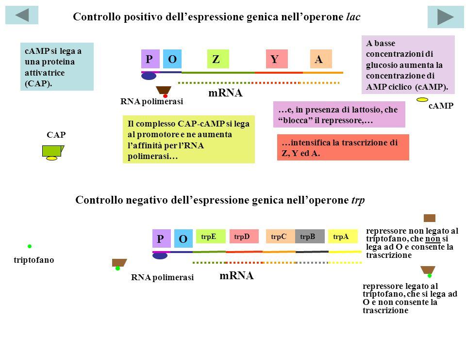 Controllo positivo dellespressione genica nelloperone lac ZYAOP RNA polimerasi mRNA A basse concentrazioni di glucosio aumenta la concentrazione di AMP ciclico (cAMP).