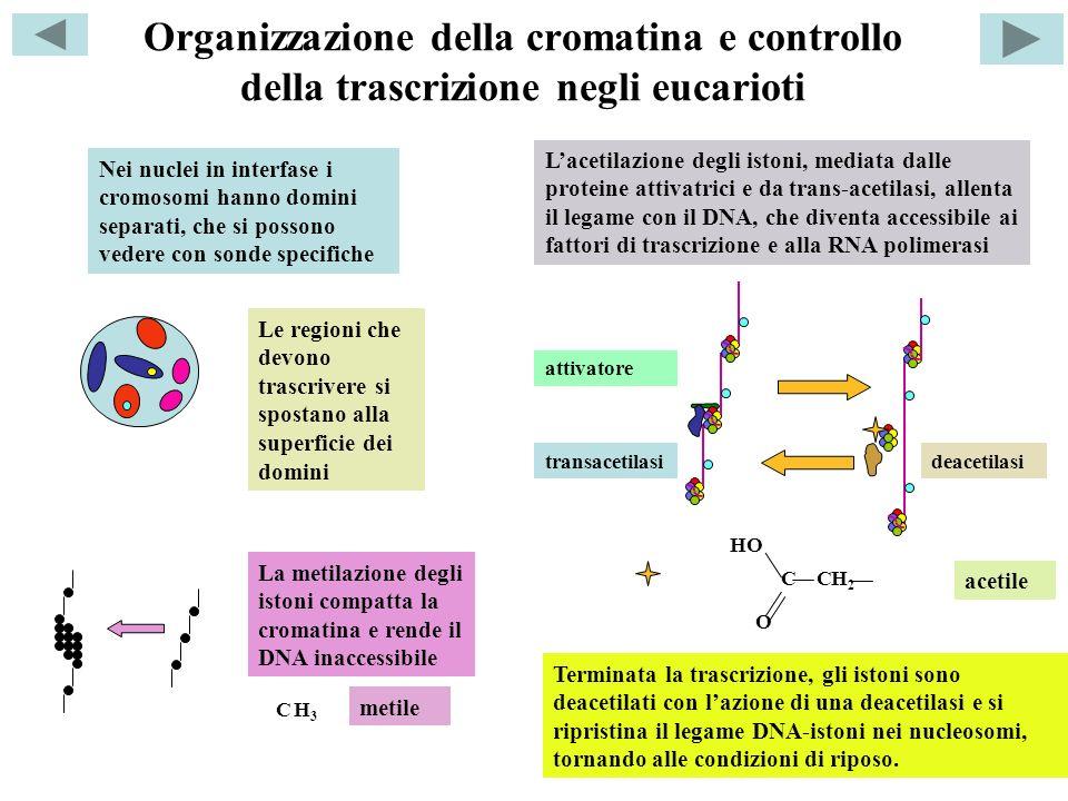 Organizzazione della cromatina e controllo della trascrizione negli eucarioti Nei nuclei in interfase i cromosomi hanno domini separati, che si posson