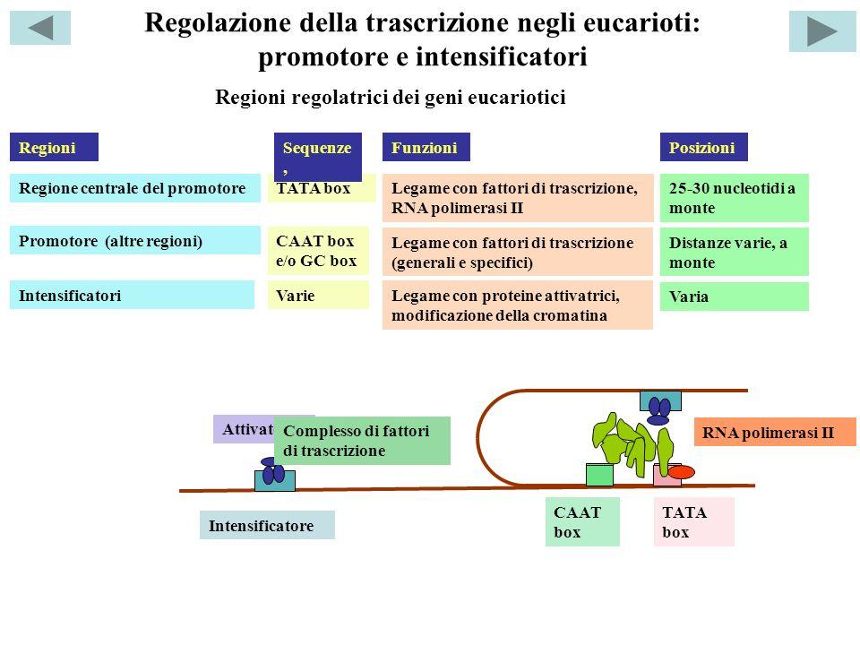 Regolazione della trascrizione negli eucarioti: promotore e intensificatori Regione centrale del promotoreTATA boxLegame con fattori di trascrizione, RNA polimerasi II Promotore (altre regioni) CAAT box e/o GC box Legame con fattori di trascrizione (generali e specifici) 25-30 nucleotidi a monte Intensificatori Distanze varie, a monte Varie Legame con proteine attivatrici, modificazione della cromatina Regioni regolatrici dei geni eucariotici RegioniSequenze, FunzioniPosizioni Varia Intensificatore Attivatori CAAT box TATA box Complesso di fattori di trascrizione RNA polimerasi II