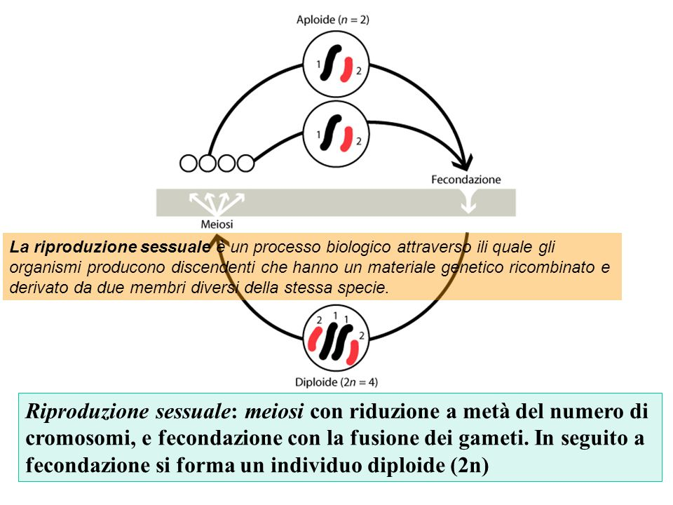 Riproduzione sessuale: meiosi con riduzione a metà del numero di cromosomi, e fecondazione con la fusione dei gameti. In seguito a fecondazione si for