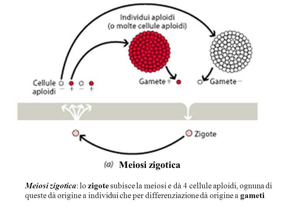 Meiosi zigotica: lo zigote subisce la meiosi e dà 4 cellule aploidi, ognuna di queste dà origine a individui che per differenziazione dà origine a gam