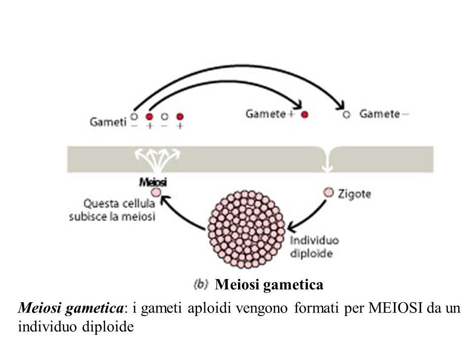 Meiosi gametica: i gameti aploidi vengono formati per MEIOSI da un individuo diploide Meiosi gametica