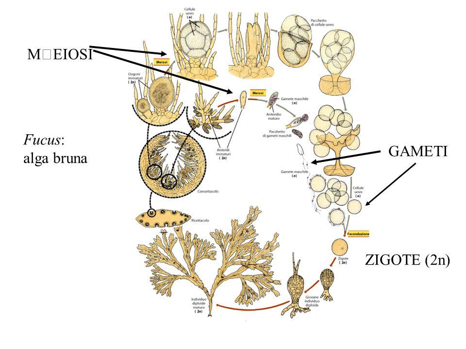 Meiosi sporica: sporofito (2n) produce spore aploidi (n) da meiosi.