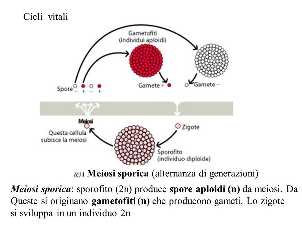 Generazione: complesso di cellule che svolgono vita vegetativa e che dividendosi per mitosi danno origine ad altre cellule caratterizzate dalla stessa fase nucleare (aplide, n o diploide, 2n)