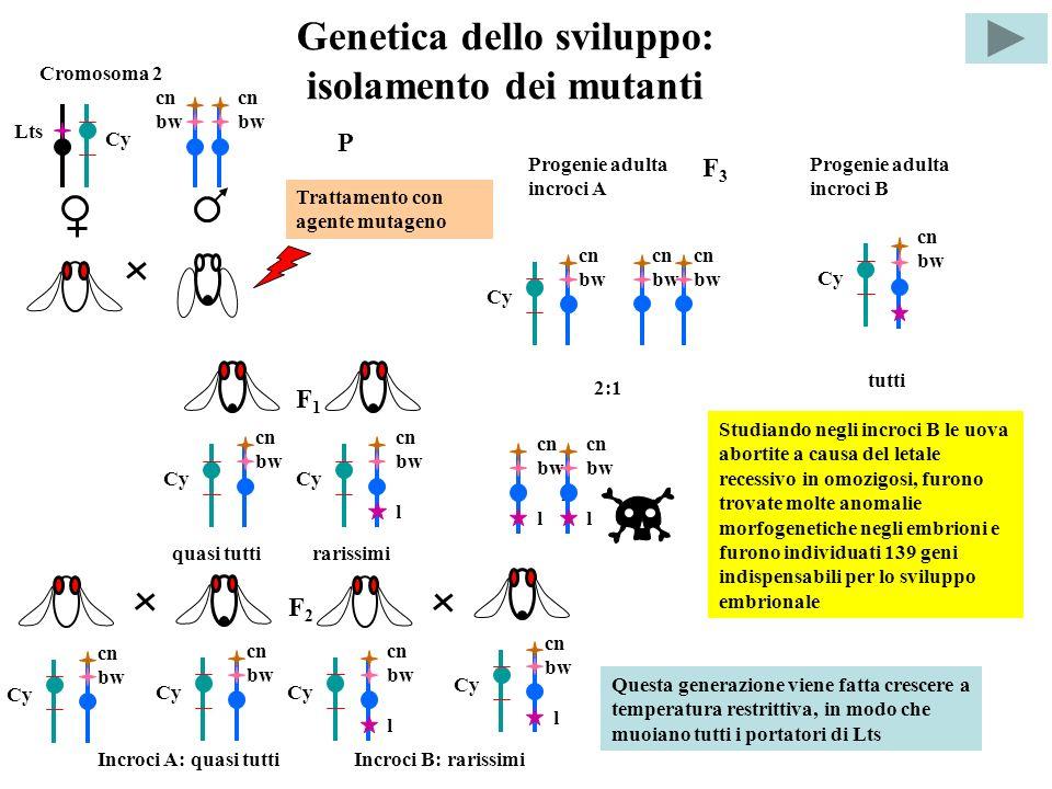 Genetica dello sviluppo: isolamento dei mutanti Cromosoma 2 Lts Cy cn bw P Trattamento con agente mutageno F1F1 cn bw Cy cn bw Cy l quasi tuttirarissi