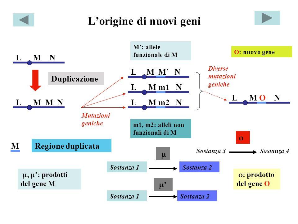 Lorigine di nuovi geni L M N L M M N Duplicazione Regione duplicataM L M M N L M m2 N L M m1 N L M O N Mutazioni geniche Diverse mutazioni geniche M: