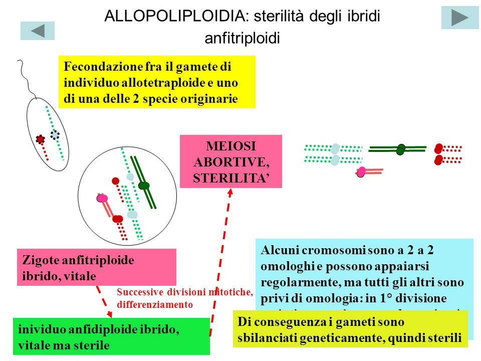 ALLOPOLIPLOIDIA: sterilità degli ibridi anfitriploidi Fecondazione fra il gamete di individuo allotetraploide e uno di una delle 2 specie originarie M