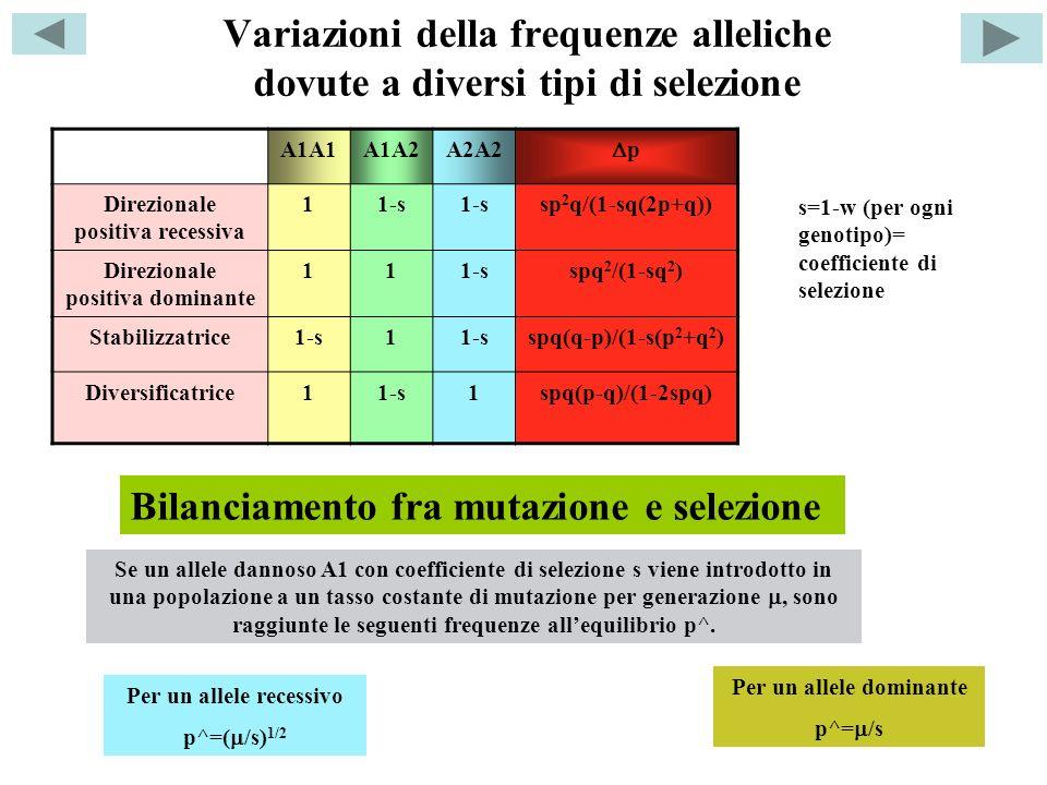 Variazioni della frequenze alleliche dovute a diversi tipi di selezione A1A1A1A2A2A2 p Direzionale positiva recessiva 11-s sp 2 q/(1-sq(2p+q)) Direzio