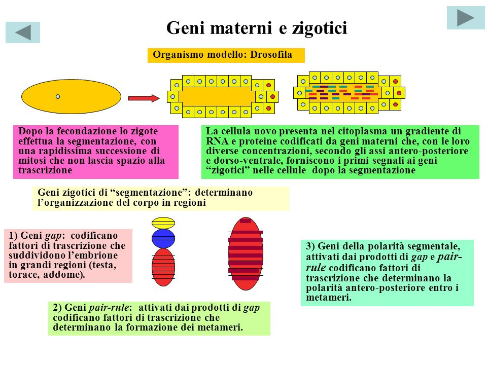 Geni omeotici Geni Hox: attivati dai prodotti di pair-rule e dei geni della polarità segmentale codificano fattori di trascrizione che determinano lo sviluppo di organi e appendici specifici per ogni metamero.