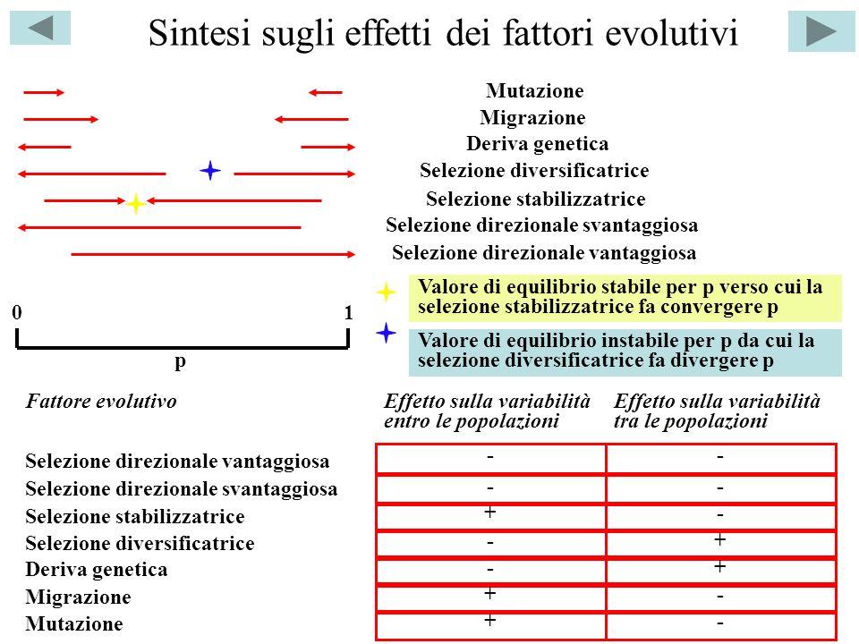 Sintesi sugli effetti dei fattori evolutivi p 01 Selezione direzionale svantaggiosa Selezione diversificatrice Selezione stabilizzatrice Deriva geneti