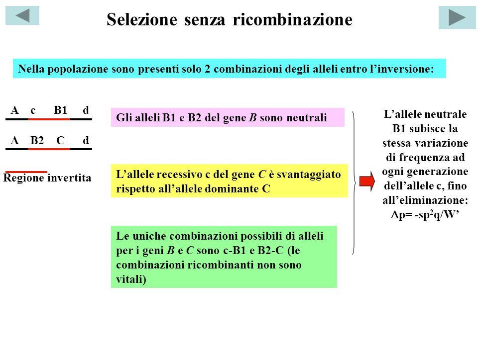 Selezione senza ricombinazione A c B1 d A B2 C d Lallele neutrale B1 subisce la stessa variazione di frequenza ad ogni generazione dellallele c, fino