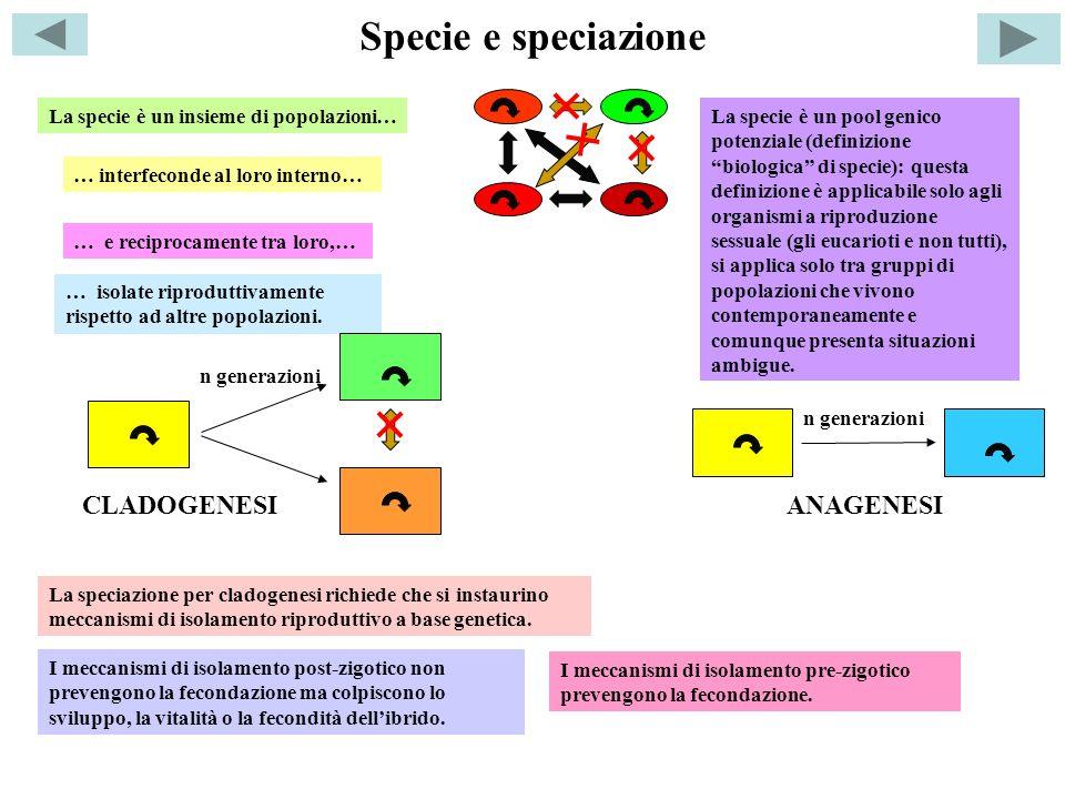 Specie e speciazione La specie è un insieme di popolazioni… … interfeconde al loro interno… … e reciprocamente tra loro,… … isolate riproduttivamente