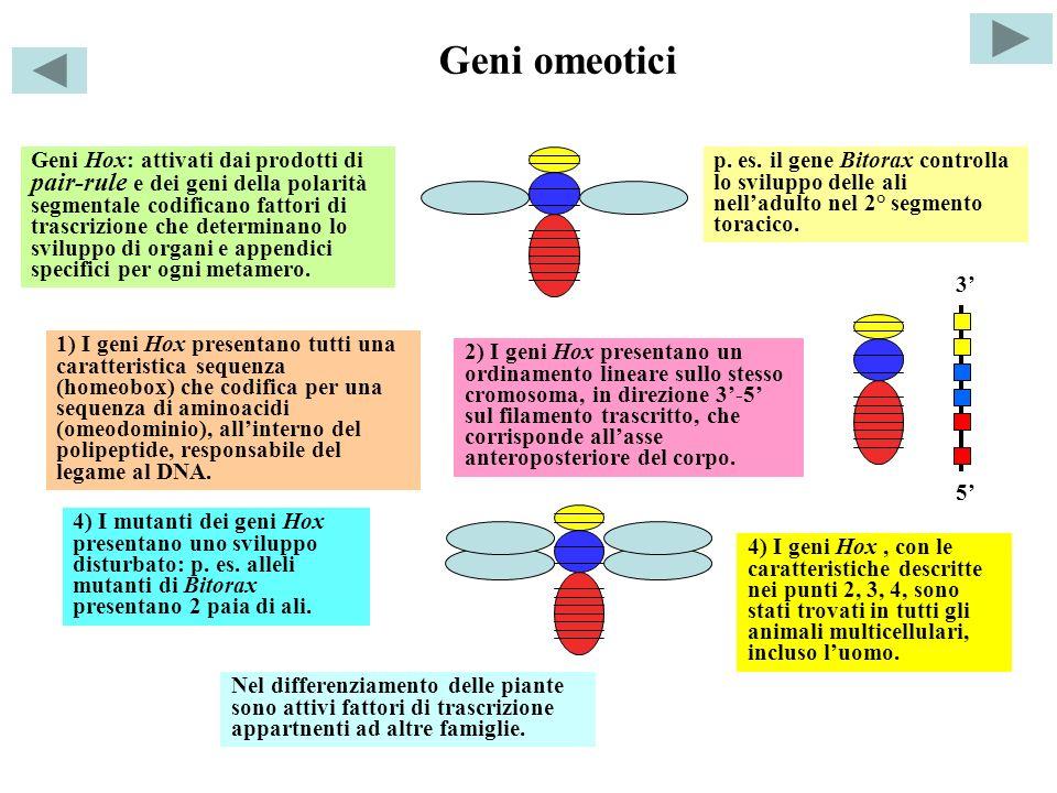 Geni omeotici Geni Hox: attivati dai prodotti di pair-rule e dei geni della polarità segmentale codificano fattori di trascrizione che determinano lo