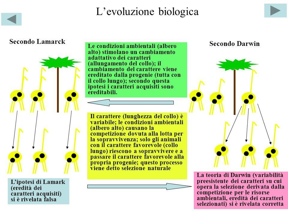 Levoluzione biologica Secondo Lamarck Secondo Darwin Le condizioni ambientali (albero alto) stimolano un cambiamento adattativo dei caratteri (allunga
