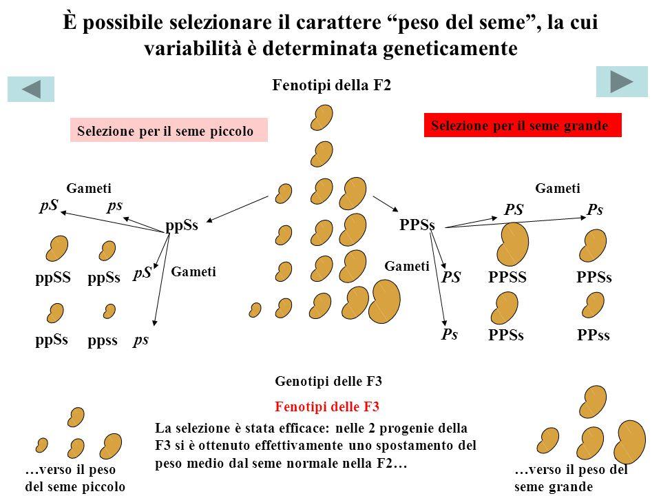 È possibile selezionare il carattere peso del seme, la cui variabilità è determinata geneticamente PPSS PPSs PPss ppSS ppss ppSs pSps PSPs PS Ps pS ps