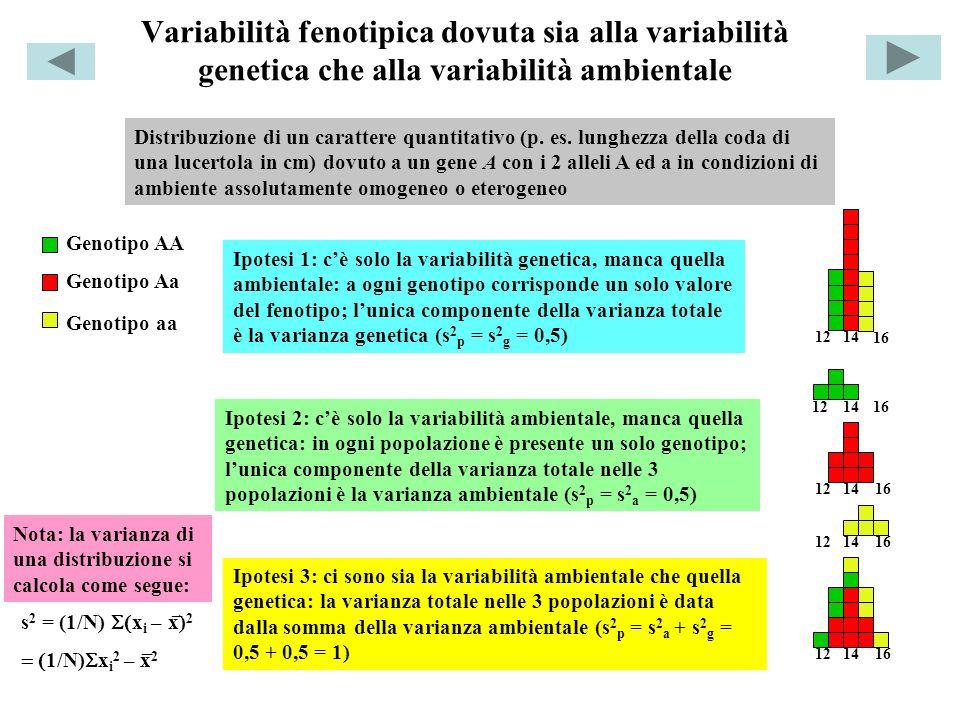 Ereditabilità dei caratteri quantitativi ed efficacia della selezione H 2 = s 2 g / s 2 p h 2 = s 2 ad / s 2 p = R/S Risposta alla selezione (R) Differenziale di selezione (S) Generazione parentale Generazione filiale F1 H 2 = ereditabilità in senso lato h 2 = ereditabilità in senso stretto s 2 ad = varianza genetica additiva Inincroci reiterati Linea pura Popolazione iniziale, da indagare H 2 = rapporto varianza genetica : varianza della popolazione iniziale (s 2 g / s 2 p ); s 2 g =s 2 p (varianza della popolazione iniziale) – s 2 a (varianza della linea pura).