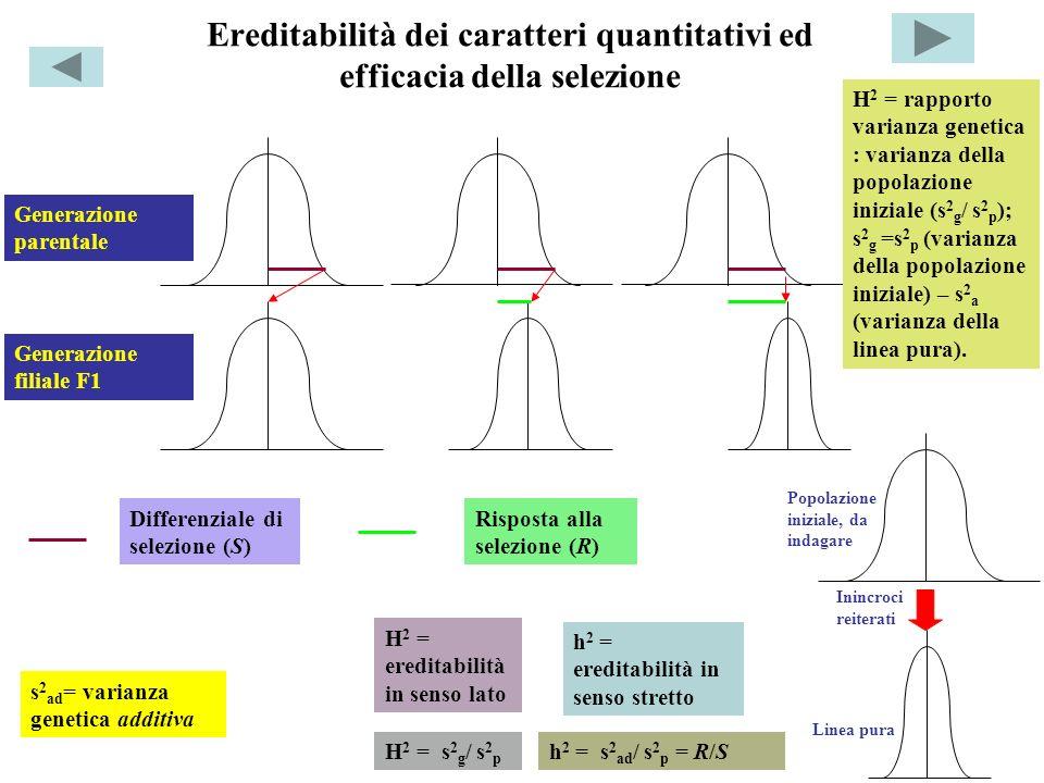 Ereditabilità dei caratteri quantitativi ed efficacia della selezione H 2 = s 2 g / s 2 p h 2 = s 2 ad / s 2 p = R/S Risposta alla selezione (R) Diffe