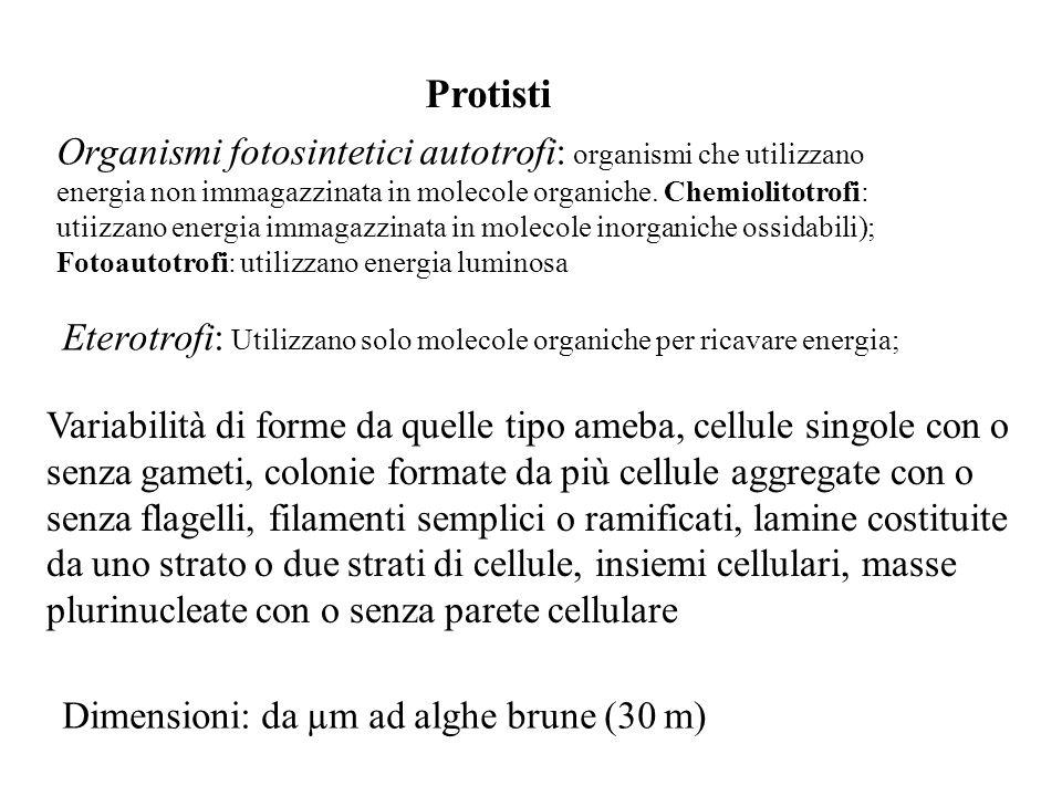Protisti Organismi fotosintetici autotrofi: organismi che utilizzano energia non immagazzinata in molecole organiche. Chemiolitotrofi: utiizzano energ