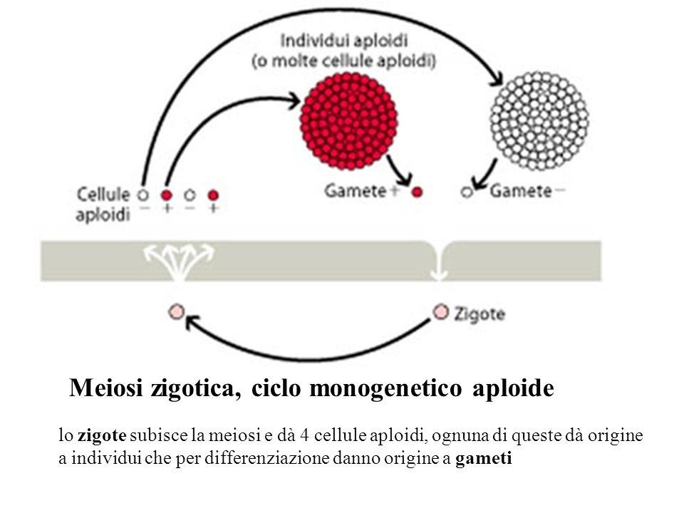 lo zigote subisce la meiosi e dà 4 cellule aploidi, ognuna di queste dà origine a individui che per differenziazione danno origine a gameti Meiosi zig