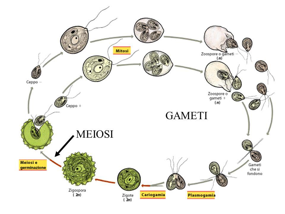 MEIOSI GAMETI