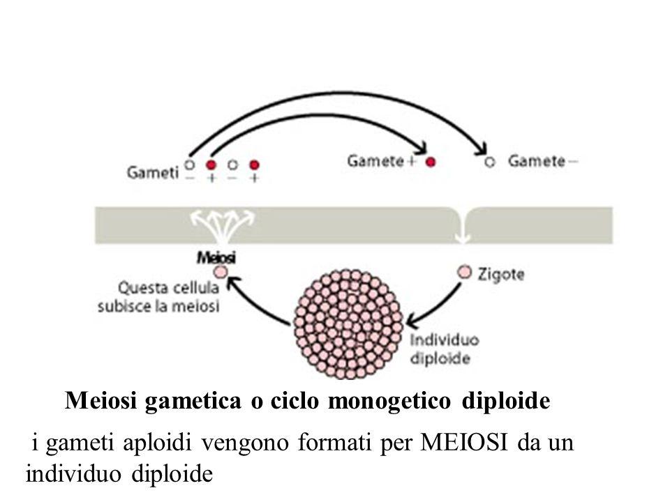 i gameti aploidi vengono formati per MEIOSI da un individuo diploide Meiosi gametica o ciclo monogetico diploide