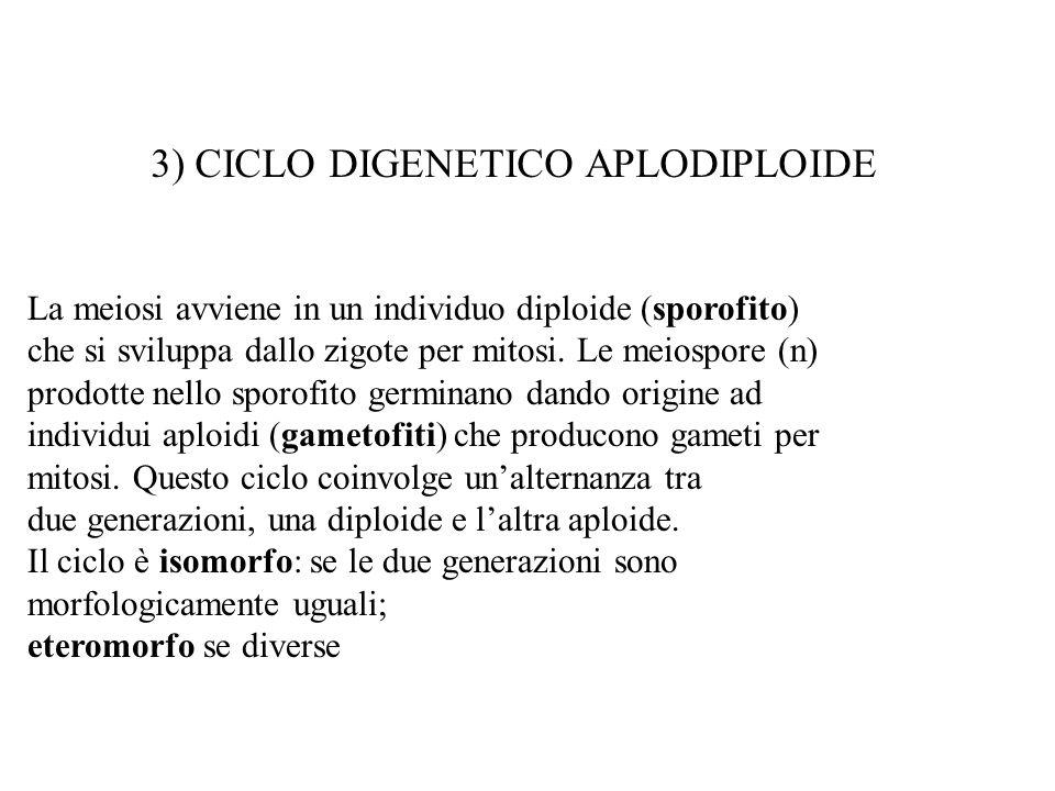 3) CICLO DIGENETICO APLODIPLOIDE La meiosi avviene in un individuo diploide (sporofito) che si sviluppa dallo zigote per mitosi. Le meiospore (n) prod