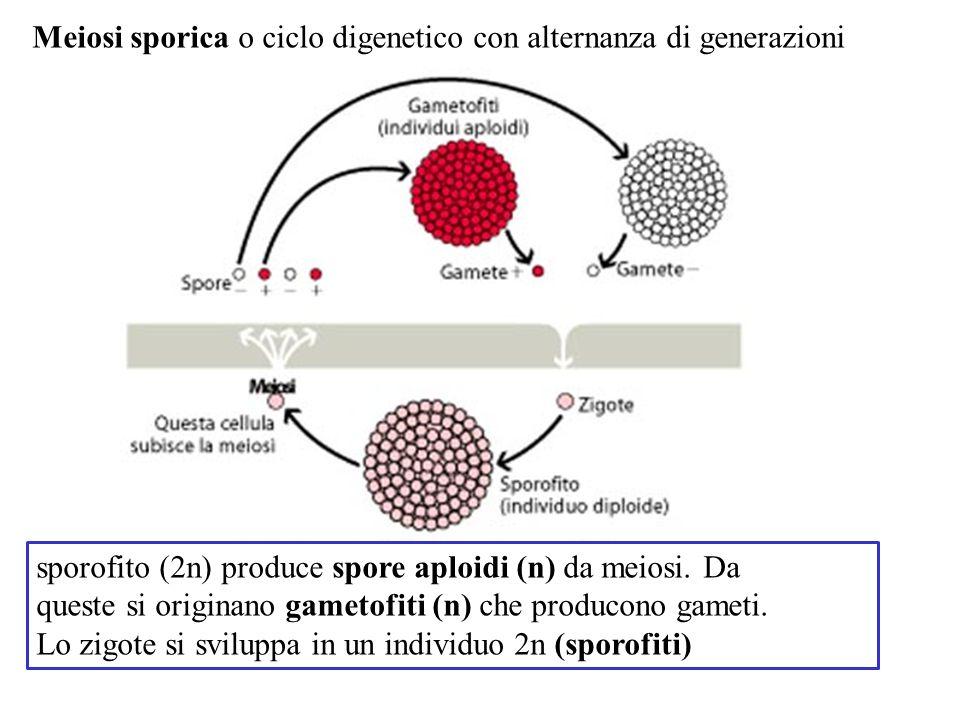 sporofito (2n) produce spore aploidi (n) da meiosi. Da queste si originano gametofiti (n) che producono gameti. Lo zigote si sviluppa in un individuo