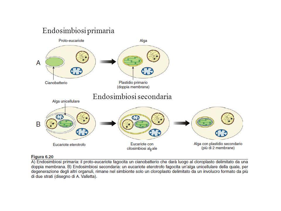 Endosimbiosi primaria Endosimbiosi secondaria g