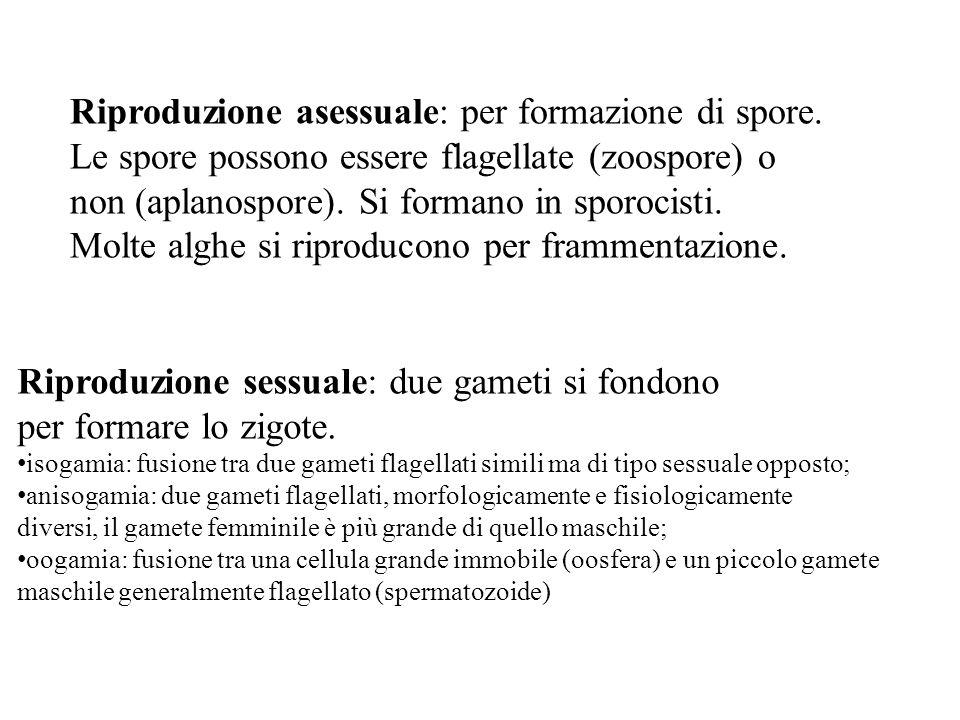 Riproduzione asessuale: per formazione di spore. Le spore possono essere flagellate (zoospore) o non (aplanospore). Si formano in sporocisti. Molte al