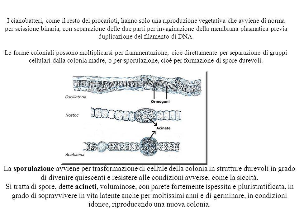 I cianobatteri, come il resto dei procarioti, hanno solo una riproduzione vegetativa che avviene di norma per scissione binaria, con separazione delle