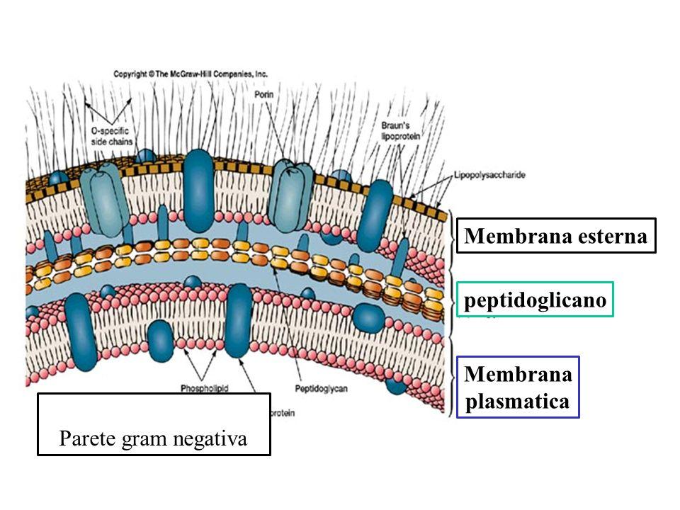 Membrana plasmatica peptidoglicano Membrana esterna Parete gram negativa