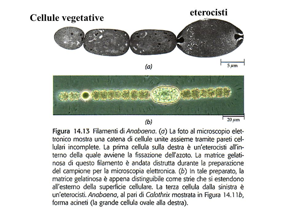 eterocisti Cellule vegetative