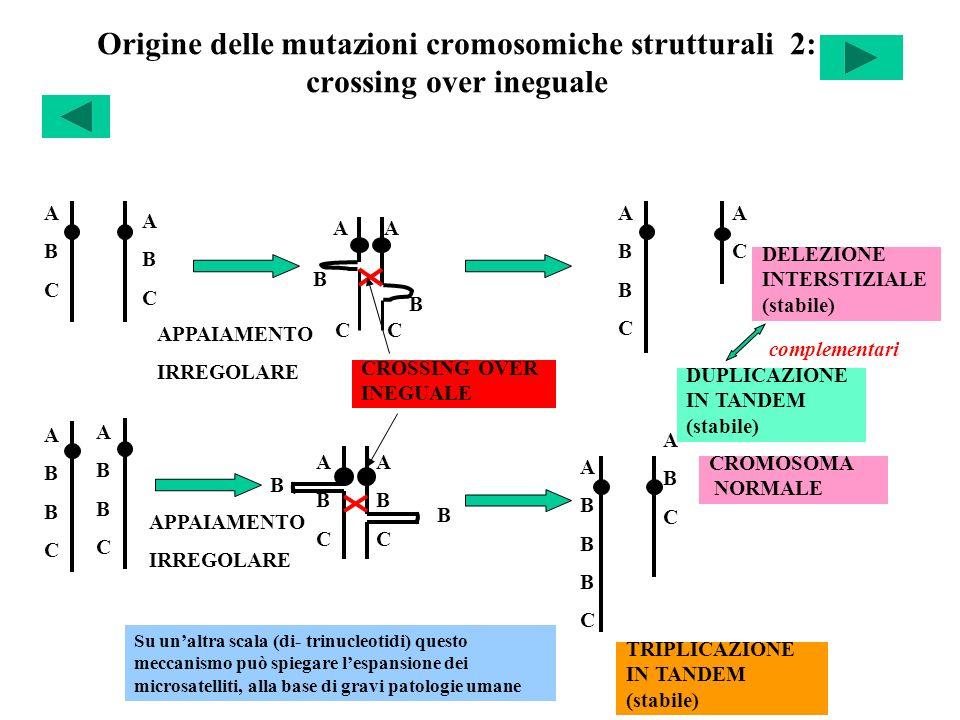 A A B C C Origine delle mutazioni cromosomiche strutturali 2: crossing over ineguale ABCABC ABCABC APPAIAMENTO IRREGOLARE CROSSING OVER INEGUALE ABBCA