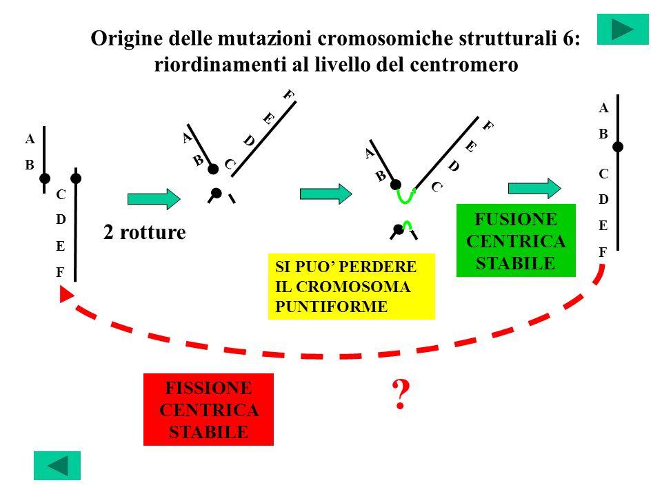 Origine delle mutazioni cromosomiche strutturali 6: riordinamenti al livello del centromero 2 rotture SI PUO PERDERE IL CROMOSOMA PUNTIFORME FISSIONE