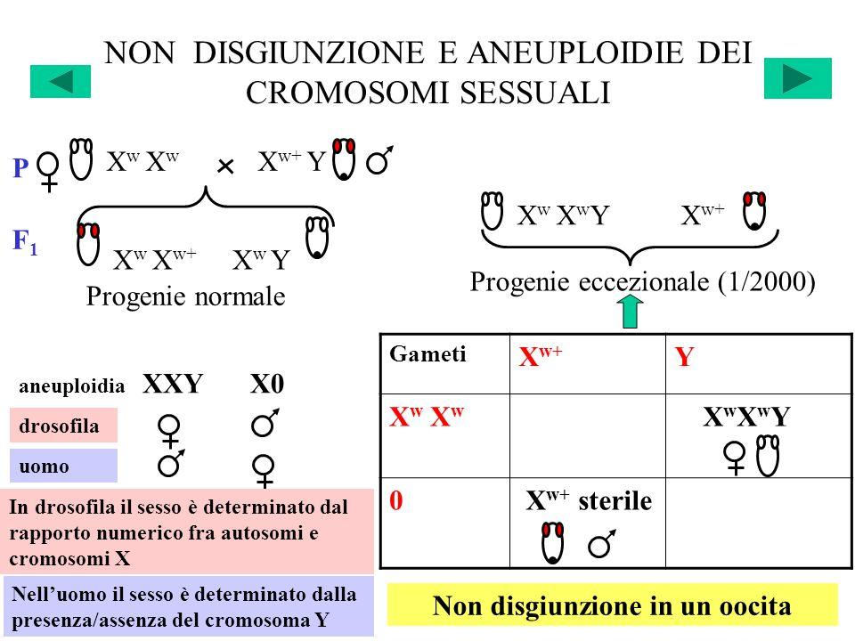 NON DISGIUNZIONE E ANEUPLOIDIE DEI CROMOSOMI SESSUALI Gameti X w+ Y X w X w X w X w+ LETALE X w X w Y 0 X w+ sterile Y LETALE P X w X w X w+ Y X w X w