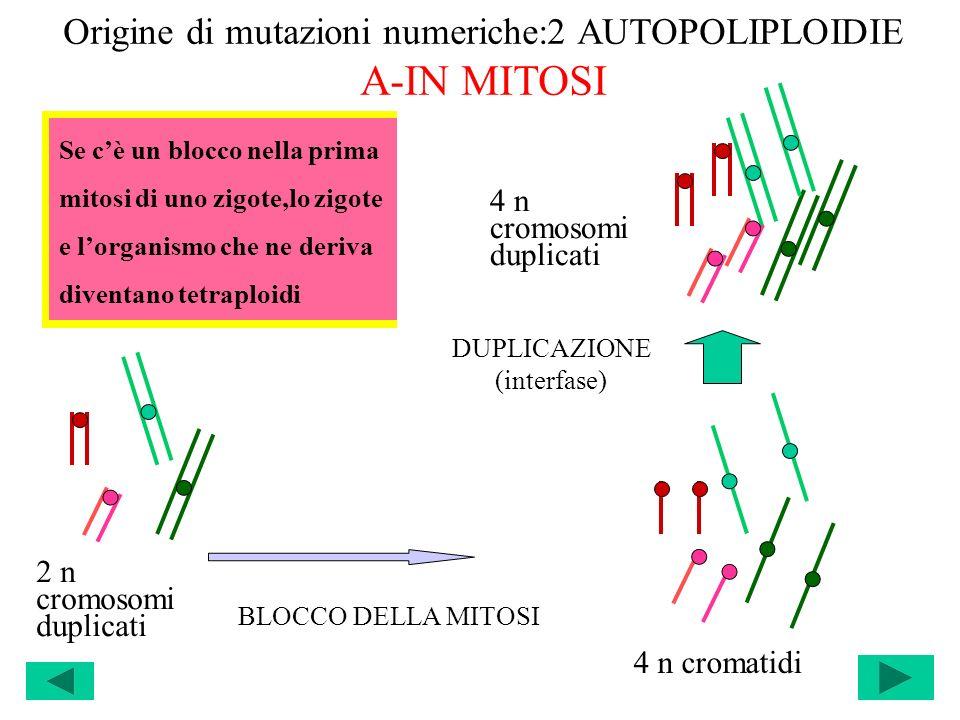 Origine di mutazioni numeriche:2 AUTOPOLIPLOIDIE A-IN MITOSI DUPLICAZIONE (interfase) 2 n cromosomi duplicati 4 n cromatidi BLOCCO DELLA MITOSI 4 n cr