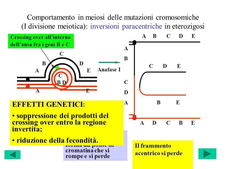 Comportamento in meiosi delle mutazioni cromosomiche (I divisione meiotica): inversioni paracentriche in eterozigosi Crossing over allinterno dellansa