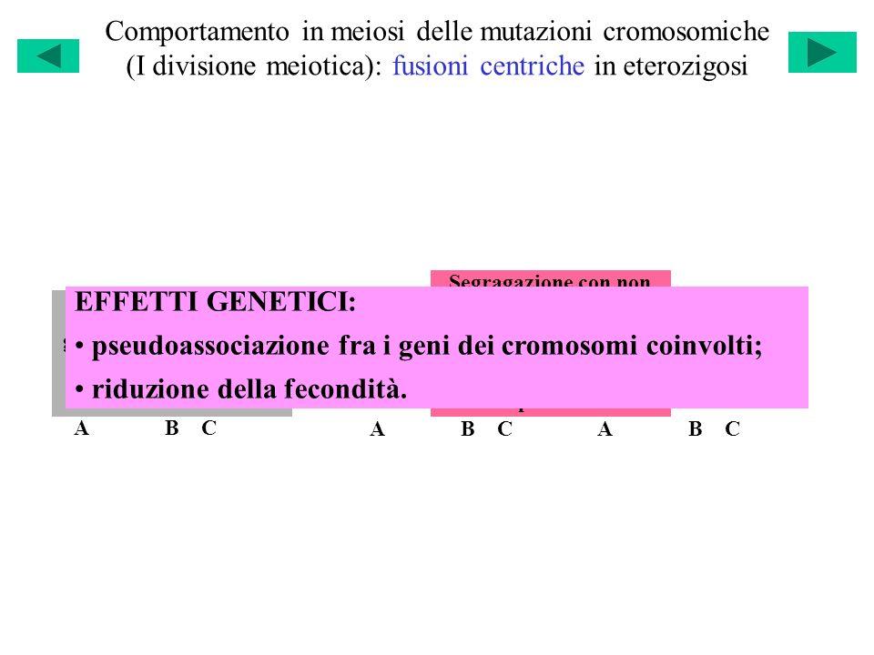 Comportamento in meiosi delle mutazioni cromosomiche (I divisione meiotica): fusioni centriche in eterozigosi A B C A B C A B C A B C A B C A B C Segr