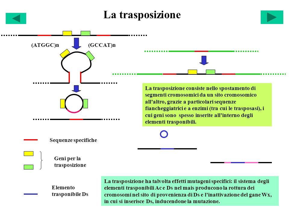 La trasposizione (ATGGC)n(GCCAT)n Sequenze specifiche Geni per la trasposizione La trasposizione consiste nello spostamento di segmenti cromosomici da