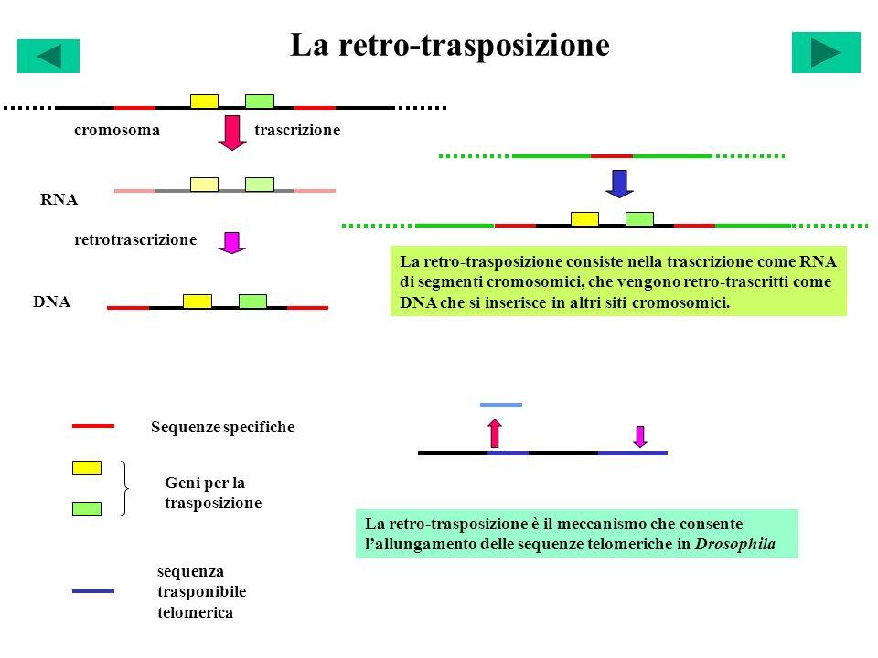 La retro-trasposizione Sequenze specifiche Geni per la trasposizione La retro-trasposizione consiste nella trascrizione come RNA di segmenti cromosomi