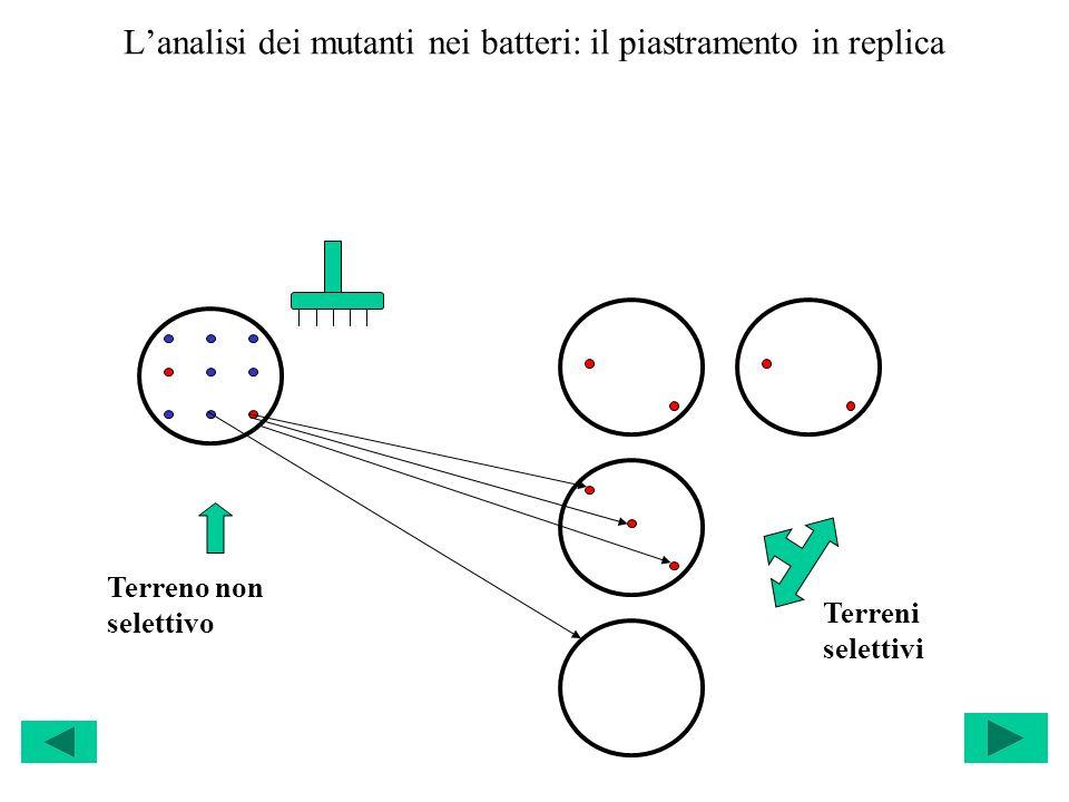 Lanalisi dei mutanti nei batteri: il piastramento in replica Terreno non selettivo Terreni selettivi