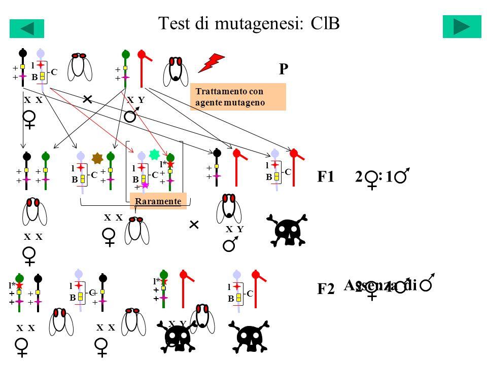 Test di mutagenesi: ClB X P Trattamento con agente mutageno + + l C B+ + X Y + + + + + + Raramente l C B+ + X X Y F1 + + l* l C B + l C B 21 : + + + +