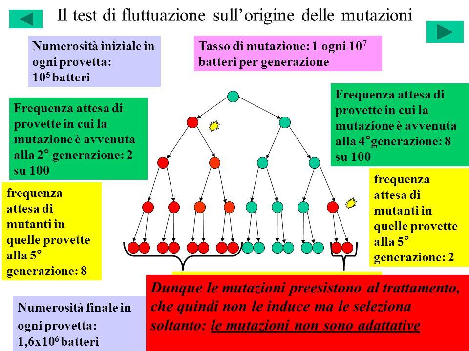 Il test di fluttuazione sullorigine delle mutazioni Numerosità iniziale in ogni provetta: 10 5 batteri Numerosità finale in ogni provetta: 1,6x10 6 ba