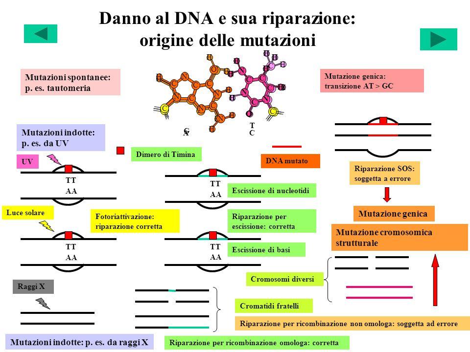 Danno al DNA e sua riparazione: origine delle mutazioni Mutazioni spontanee: p. es. tautomeria H C C C H H C C N H N O O C T H N C C N C H C N N N H H
