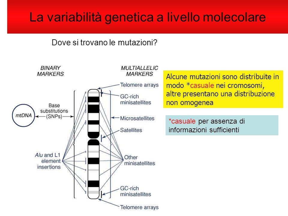 La variabilità genetica a livello molecolare Dove si trovano le mutazioni? Alcune mutazioni sono distribuite in modo *casuale nei cromosomi, altre pre